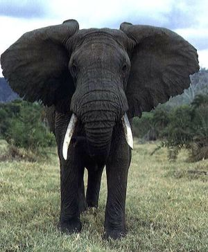 African Elephant vs  A...